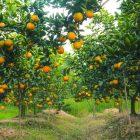 Cơ hội mua trực tiếp cam tươi ngon từ vựa cam Hưng Yên